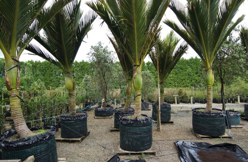 Nice Large Plant Pots For Trees Nz Office Plants Ambius New Zealand. Large  Containerised Nikau In Our Nursery